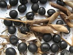 Black Soybean Hull Anthocyanins