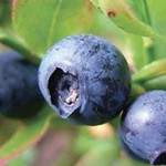 MytrtiPRO - Bilberry extract